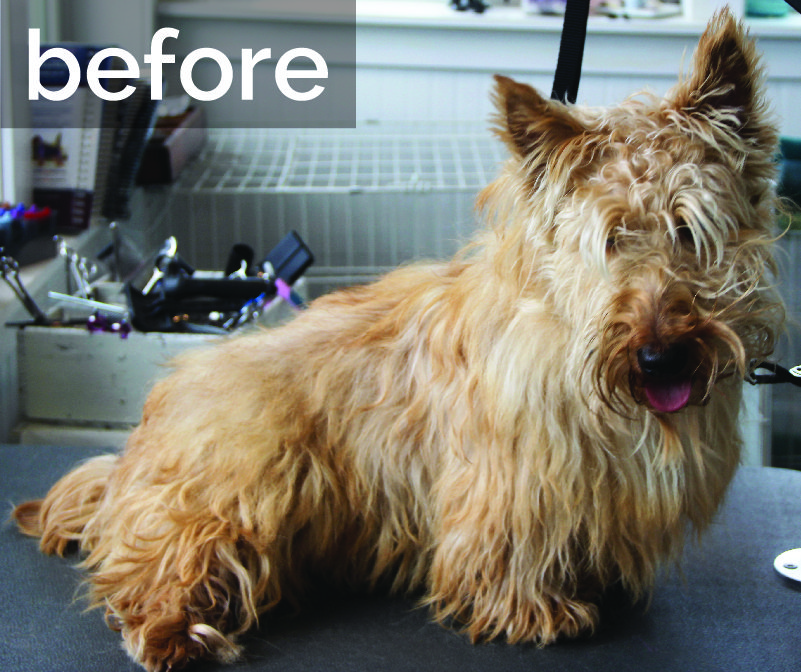 Terrier before grooming