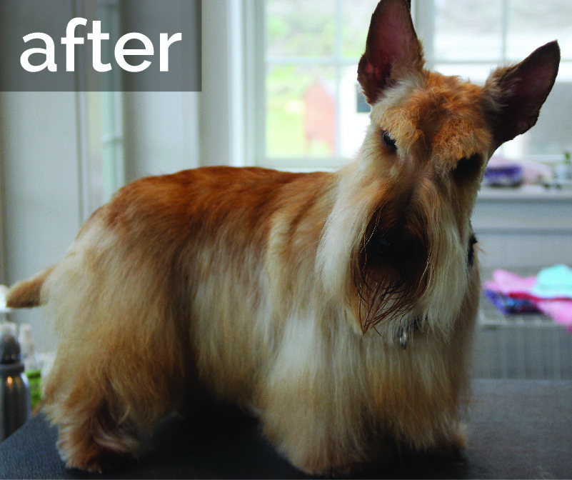 Terrier after grooming